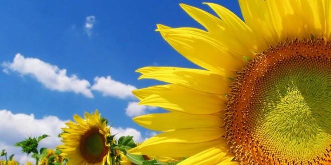 ПОДСОЛНУХ - Цветок Солнца