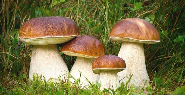 грибы7